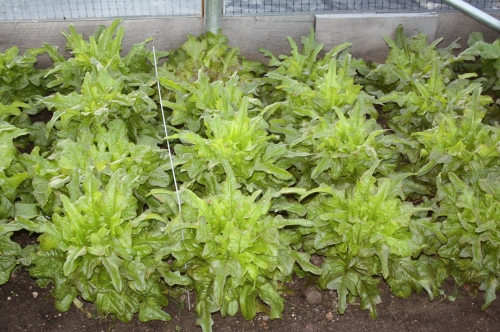Tender oak leaf lettuce at harvest.