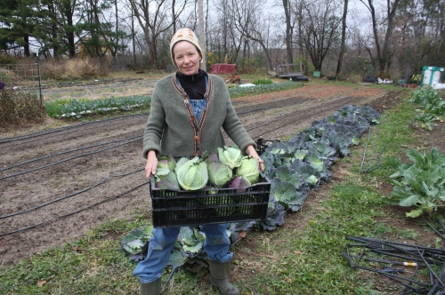 Savoy cabbage harvest.