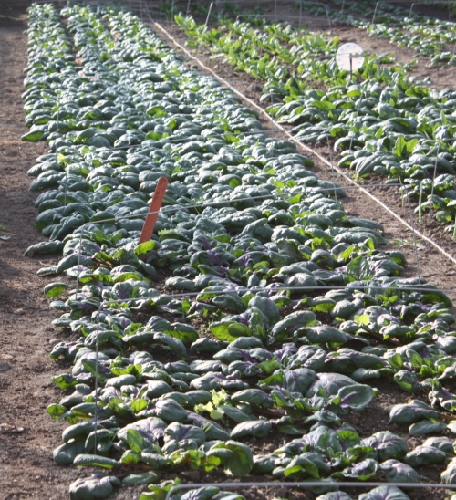Rows and rows of great spinach.....
