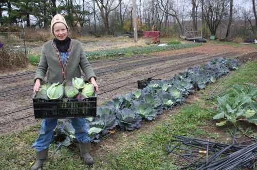 The last cabbage harvest from the garden. AND no snow!