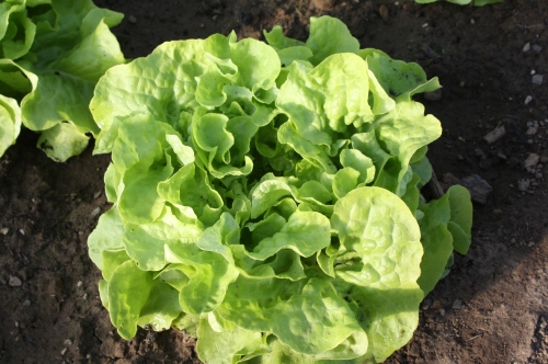 Lettuce ready to be harvested in the hoop house.