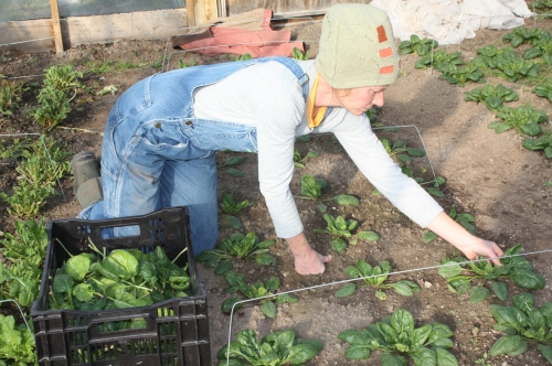 Picking spinach leaf by leaf…..