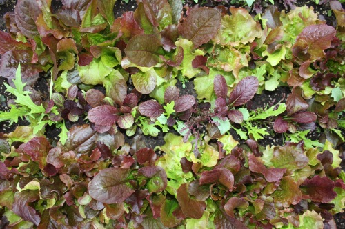 Leaf lettuce at harvest.