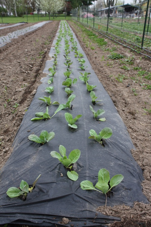 Transplanted Cabbage. A bit risky this early in the season but we can cover with row cover if it gets too chilly.