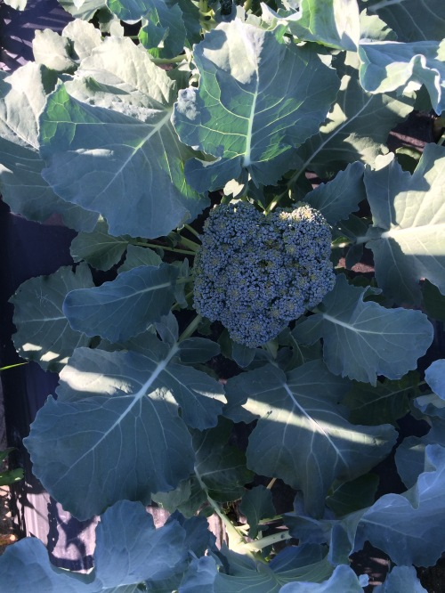 Early Broccoli at harvest.
