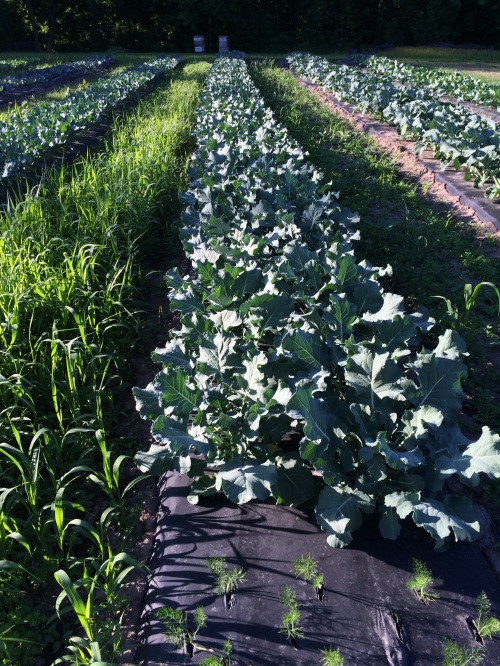 The long row of the early bird broccoli.