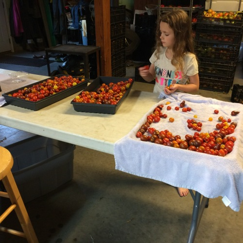 Washing and sorting the cherry tomatoes.