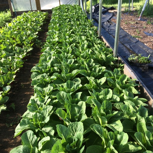 Romaine at early morning harvest.