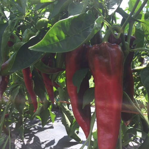 Carmen Peppers in the hot summer haze.
