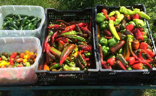The 1st pass down the pepper rows. A bounty!