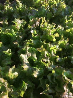 lettuce at harvest