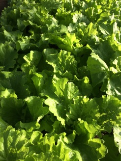 and a second head lettuce beauty ready to pick.